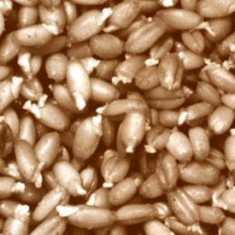 Sprouted Wheat