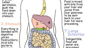 Image from http://hawkesbiology.wikispaces.com/Digestive+System