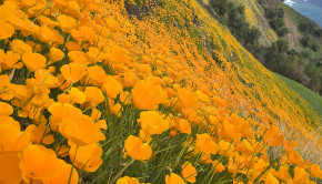 explore-scenic-yellow-poppies-big-sur-esalen