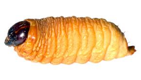 edible grub