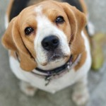 How Your Cosmetic Chocies Can Protect Beagles