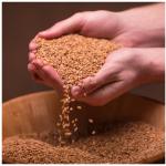 einkorn berries einkorn whole grain